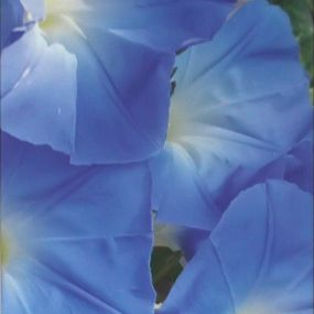 Jean Knox Blue Lillies artwork