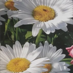 Jean Knox Daisies artwork