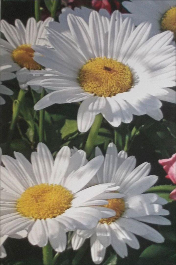 Jean Knox Daisies artwork